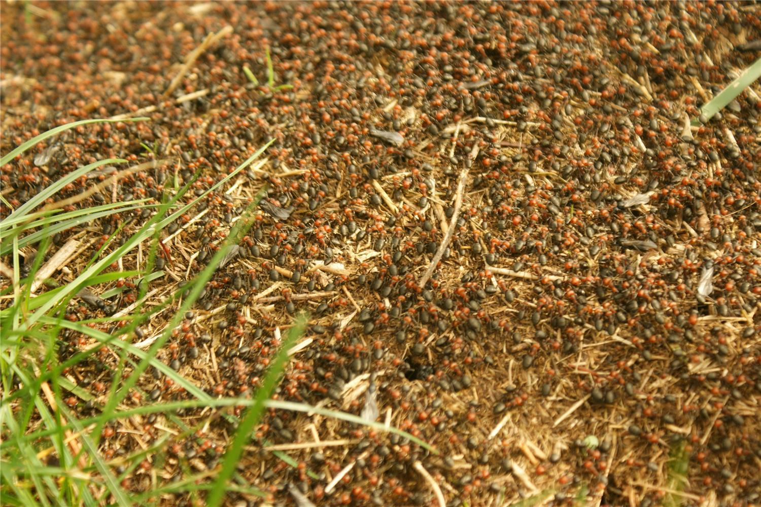 Thatching Ants